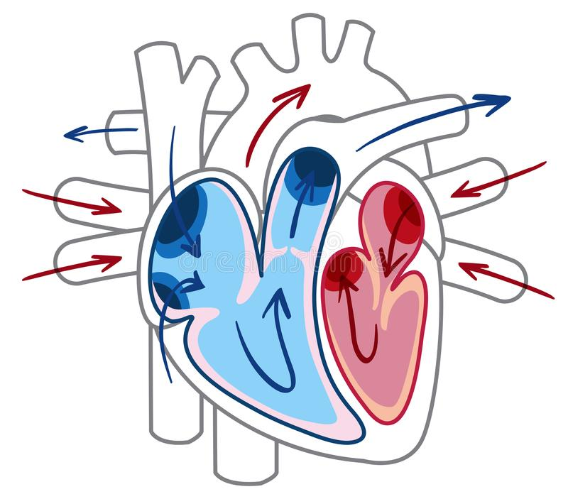 Building a model of the heart