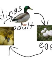 From egg to duckling.